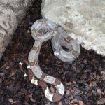 Boa cnstrictor constrictor, Guyana Rotschwanzboa 1.0 Baby0